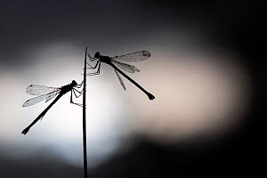 RF - Silhouetted emerald damselflies (Lestes sponsa) resting on a reed, Devon, England, UK. August. (This image may be licensed either as rights managed or royalty free.)  -  Ross Hoddinott