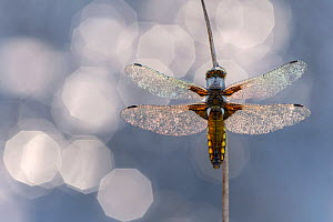 Broad bodied chaser dragonfly (Libellula depressa) covered in dew backlit against water, Broxwater, Cornwall, UK. May 2018.  -  Ross Hoddinott