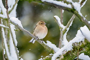Chaffinch (Fringilla coelebs) female perched on snow coverd branches, Broxwater, Cornwall, UK. March.  -  Ross Hoddinott