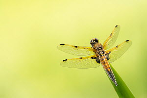 Four-spotted chaser dragonfly (Libellula quadrimaculata) resting on reed with pond behind, Cornwall, UK. May.  -  Ross Hoddinott