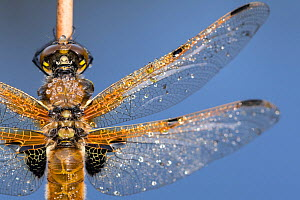 Four spotted chaser dragonfly (Libellula quadrimaculata), close-up of body and wing detail, Broxwater, Cornwall, UK. June.  -  Ross Hoddinott