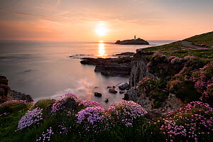 View of Godrevy island / lighthouse with flowering  Sea thrift (Armeria maritima) in the foreground, near Hayle, Cornwall, UK. May. - Ross Hoddinott