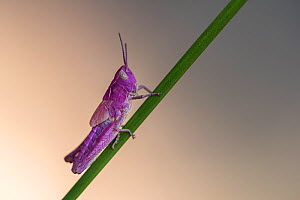 Common field grasshopper (Chorthippus brunneus). Rare pink variation. The pink insect owes its colour to a rare genetic mutation called erythrism - similar to albinism. Few make it to their adult stag...  -  Ross Hoddinott