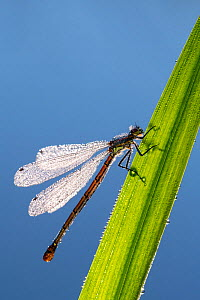 Large red damselfly (Pyrrhosoma nymphula) covered in dew resting on a backlit reed by the pond's edge, Cornwall, UK. May.  -  Ross Hoddinott