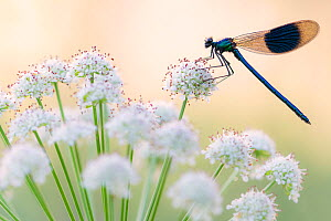 Male banded demoiselle (Calopteryx splendens), resting on flower head, Lower Tamar Lakes, Cornwall, UK. June.  -  Ross Hoddinott