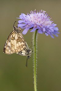 Paired/mating marbled white butterflies (Melanargia galathea) on devil's bit scabious (Succisa pratensis), Collard Hill, Somerset, July.  -  Ross Hoddinott
