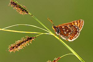 Marsh fritillary butterfly (Euphydrayas aurinia) resting on sedge, Dunsdon Nature Reserve, near Holsworthy, Devon, UK. June 18. - Ross Hoddinott