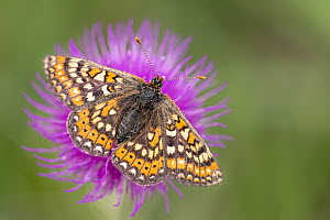 Marsh fritillary butterfly (Euphydrayas aurinia) feeding on Meadow thistle flower (Cirsium helenoides), Dunsdon Nature Reserve, near Holsworthy, Devon, UK. June 18. - Ross Hoddinott