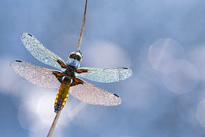 Broad bodied chaser dragonfly (Libellula depressa) covered in dew backlit against water, Broxwater, Cornwall, UK. May.  -  Ross Hoddinott