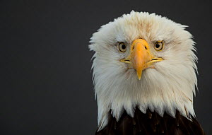 Bald eagle (Haliaeetus leucocephalus) head portrait, Alaska, USA, February  -  Danny Green