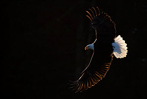 Bald eagle (Haliaeetus leucocephalus) in flight, Alaska, USA, February  -  Danny Green