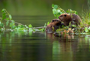 Beaver kits (Castor fiber) eating aspen, Finland, July - Danny Green