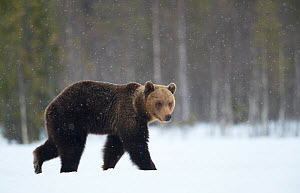 Brown Bear (Ursus arctos) in the snow, Finland, April - Danny Green