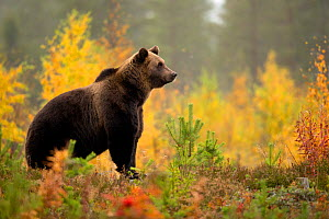 Brown bear (Ursus arctos) in autumnal forest, Finland, September  -  Danny Green