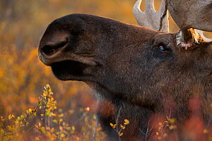 Moose bull (Alces alces) head shot, Denali National Park, Alaska, USA, September - Danny Green