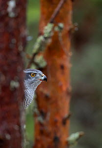 Goshawk (Accipiter gentilis) perched in a tree, Norway, January - Danny Green