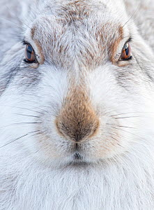 Mountain Hare (Lepus timidus) resting, close up portrait, Cairngorms, Scotland, February - Danny Green
