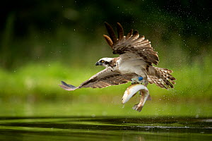 Osprey (Pandion haliaetus) in flight catching a fish, Finland, July - Danny Green