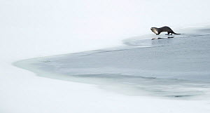 North American otter (Lontra canadensis) eating a fish, Yellowstone National Park, USA, February  -  Danny Green
