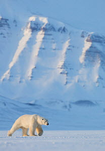 Polar bear (Ursus maritimus) walking in snow, Svalbard, Norway, April - Danny Green