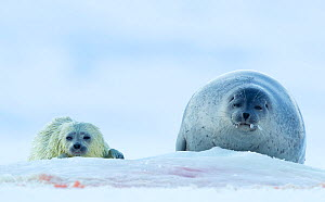 Ringed seal  (Phoca hispida) female hauled out with pup, Svalbard, Norway, April - Danny Green