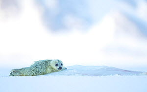 Ringed seal pup resting (Phoca hispida) Svalbard, Norway, April - Danny Green