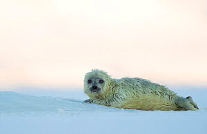 Ringed seal and pup (Phoca hispida) Svalbard, Norway, April - Danny Green