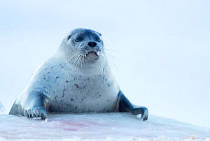 Ringed seal resting (Phoca hispida) hauled out, Svalbard, Norway, April - Danny Green