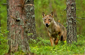 Wolf portrait (Canis lupus) in a forest, Finland, July - Danny Green