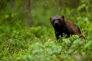 Wolverine (Gulo gulo) portrait in a forest, Finland, July - Danny Green