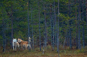 Wolves (Canis lupus) alpha male and female, Finland, September. - Danny Green