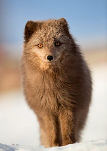 Arctic fox (Alopex lagopus) in the snow, in summer coat, Svalbard, Norway, April - Danny Green