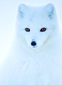 Arctic fox (Alopex lagopus), in winter coat portrait, Svalbard, Norway, April. - Danny Green