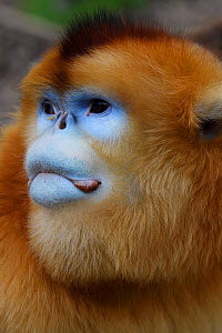 Golden snub-nosed monkey (Rhinopithecus roxellana) portrait, Foping Nature Reserve, Shaanxi, China. Endangered species - Staffan Widstrand / Wild Wonders of China