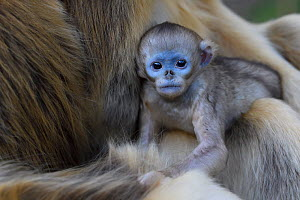 Golden snub-nosed monkey (Rhinopithecus roxellana) female with very young baby in Foping Nature Reserve, Shaanxi, China. Endangered species - Staffan Widstrand / Wild Wonders of China