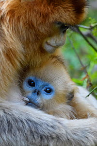 Golden snub-nosed monkey (Rhinopithecus roxellana) female with baby suckling, Foping Nature Reserve, Shaanxi, China. Endangered species - Staffan Widstrand / Wild Wonders of China
