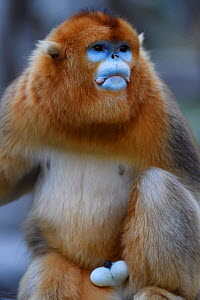 Portrait of a male Golden snub-nosed monkey (Rhinopithecus roxellana) Foping Nature Reserve, Shaanxi, China. Endangered species - Staffan Widstrand / Wild Wonders of China