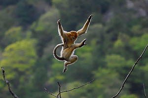Golden snub-nosed monkey (Rhinopithecus roxellana) jumping from branch to branch, Foping Nature Reserve, Shaanxi, China. Endangered species - Staffan Widstrand / Wild Wonders of China