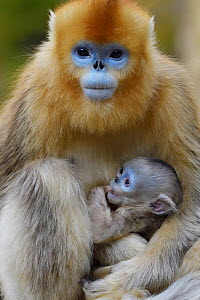 Golden snub-nosed monkey (Rhinopithecus roxellana) female with very young baby, Foping Nature Reserve, Shaanxi, China. Endangered species - Staffan Widstrand / Wild Wonders of China