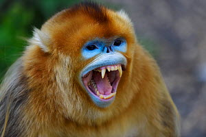Portrait of a Golden snub-nosed monkey (Rhinopithecus roxellana) screaming, showing its teeth in Foping Nature Reserve, Shaanxi, China. Endangered species - Staffan Widstrand / Wild Wonders of China