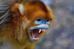 Portrait of a Golden snub-nosed monkey (Rhinopithecus roxellana) screaming and showing its teeth in Foping Nature Reserve, Shaanxi, China. Endangered species - Staffan Widstrand / Wild Wonders of China