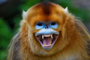 Portrait of a Golden snub-nosed monkey (Rhinopithecus roxellana) screaming and showing its teeth, Foping Nature Reserve, Shaanxi, China. Endangered species - Staffan Widstrand / Wild Wonders of China