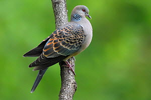 Oriental turtle dove (Streptopelia chinensis) perched on branch, Yangxian Biosphere Reserve, Shaanxi, China - Staffan Widstrand / Wild Wonders of China
