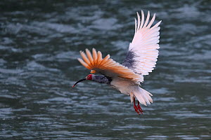 Crested ibis (Nipponia nippon) in breeding colours, flying over water in Yangxian Biosphere Reserve, Shaanxi, China, April.  -  Staffan Widstrand / Wild Wonders of China