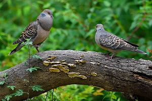 Oriental turtle doves (Streptopelia chinensis), male in courtship display to female, Yangxian Biosphere Reserve, Shaanxi, China - Staffan Widstrand / Wild Wonders of China