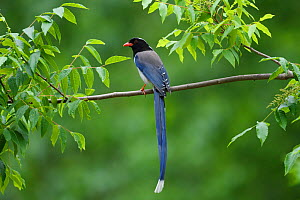 Red-billed blue magpie (Urocissa erythroryncha) perched on a branch, Yangxian Biosphere Reserve, Shaanxi, China, April. - Staffan Widstrand / Wild Wonders of China