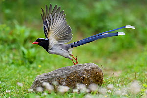 Red-billed blue magpie (Urocissa erythroryncha) taking off from a stone in Yangxian Biosphere Reserve, Shaanxi, China - Staffan Widstrand / Wild Wonders of China