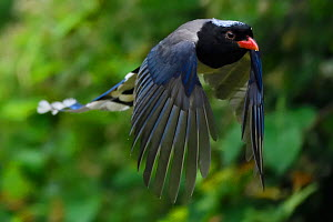 Red-billed blue magpie (Urocissa erythroryncha) flying, Yangxian Biosphere Reserve, Shaanxi, China - Staffan Widstrand / Wild Wonders of China