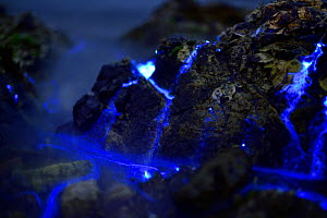 Bioluminescent Sea-fireflies (Vargula hilgendorfii)  washed up on shore, producing a bright blue light. The light is produced by mixing two chemicals together in the presence of oxygen and is for mati...  -  Solvin Zankl