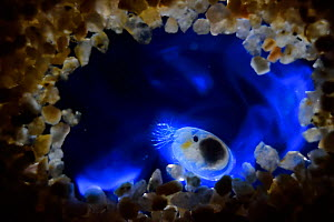Bioluminescent Sea-fireflies (Vargula hilgendorfii) producing a bright blue light. The light is produced by mixing two chemicals together in the presence of oxygen and is for mating displays or defenc... - Solvin Zankl